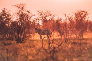 Botswana Safari Wildlife Photography Zabra Goldene Stunde